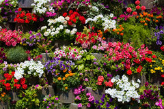 The wall of beautiful flowers. The wall of red, blue, yellow flowers Royalty Free Stock Photos
