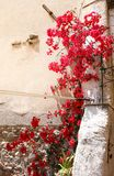 Wall with beautiful red flowers. Wall with climbing plant with red flowers royalty free stock photography