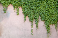Wall with boston ivy. Wall partially covered with japanese creeper Royalty Free Stock Images