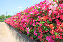 Wall of bougainvillea flower Stock Photography