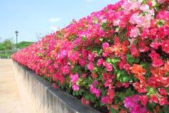 Wall of bougainvillea flower. Border garden stock photography