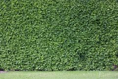 The wall brick covered. By green leaves Stock Photos