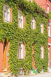 Wall brick wall covered with green leaves Royalty Free Stock Photos