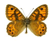Free Wall Brown Butterfly Stock Images - 45918654