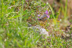 Wall Brown butterfly with dots feeding on flowers in the summer Royalty Free Stock Photo