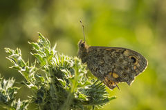 Wall Brown butterfly feeding on flowers Stock Image