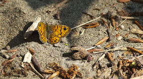 Wall Brown Butterfly (Lasiommata maera) Stock Images