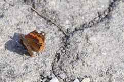Wall Brown Butterfly (Lasiommata maera) Stock Image