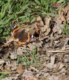 Wall Brown Butterfly (Lasiommata maera) Royalty Free Stock Images