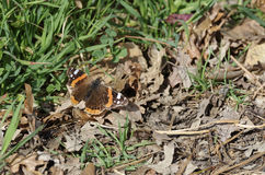 Wall Brown Butterfly (Lasiommata maera) Royalty Free Stock Image
