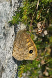 Wall Brown Butterfly stock images