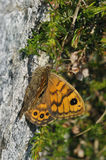Wall Brown Butterfly Royalty Free Stock Photos