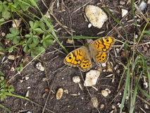 Wall brown butterfly on soil Stock Image