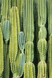 Wall of Cactus. A grouping of spiny cactus branches forming a wall stock images