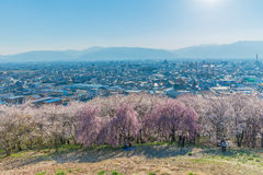 Wall of Cherry blossom stock image