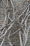 Wall Clambering Tree. Clambering tree at the old brick wall stock images