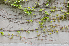 Wall with climbing plant Royalty Free Stock Images