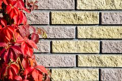 A wall of colored brick with red leaves of wild grapes.  royalty free stock images