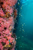 Wall of Colorful soft corals pink color Dendronephthya sp. wit royalty free stock photo