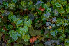A wall of common ivy. Usuable as a background or texture. Also known as european ivy, english ivy or ivy. Hedera helix Royalty Free Stock Image
