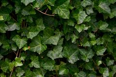 A wall of common ivy. Usuable as a background or texture. Also known as european ivy, english ivy or ivy. Hedera helix Royalty Free Stock Photography