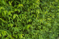 The wall completely covered with green ivy leaves. Wall completely covered with green ivy leaves Royalty Free Stock Photography