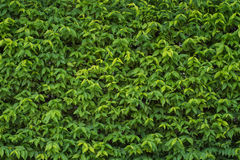 The wall completely covered with green ivy leaves. Wall completely covered with green ivy leaves Royalty Free Stock Photo
