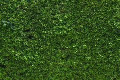 The wall completely covered with green ivy leaves. Royalty Free Stock Images