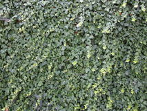 Wall completely covered with ivy. Plant royalty free stock images