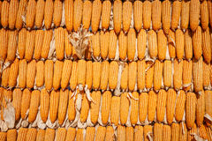 Wall from corn on daylight Stock Photos