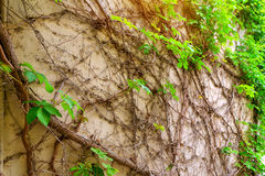 Wall covered with branches of vineyard, Greece Royalty Free Stock Photo