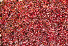 Wall covered with flame red leaves. In autumn Royalty Free Stock Photos