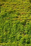 Wall covered by green foliage Royalty Free Stock Image