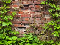 Wall covered with green leaves of wild grape. Brick wall texture with ivy. Natural background. stock images