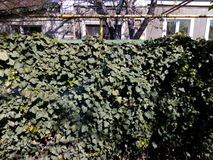 Wall covered with green spring leaves of ivy Royalty Free Stock Image