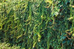 Wall covered with green and yellow leaves of wild grape. Natural background.  Stock Image
