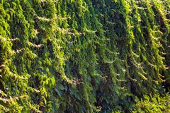 Wall covered with green and yellow leaves of wild grape. Natural background.  Royalty Free Stock Photography
