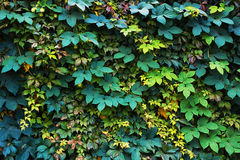 Wall covered with green and yellow leaves of wild grape. Natural background. Stock Images