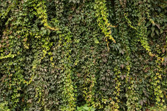 Wall covered with green and yellow leaves of wild grape. Natural background. Stock Photography