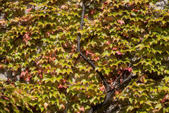 The wall  covered by greenand red  leaves of ivy Stock Images