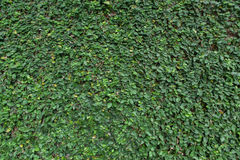 Wall covered with a huge number of wild vine leaves Royalty Free Stock Photo