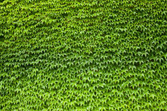 Wall covered with ivy. A wall covered with green ivy Royalty Free Stock Photo