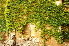 Wall covered with ivy. Partly ruined medieval wall covered with ivy Royalty Free Stock Photo