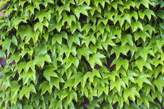Wall covered with ivy creeper Stock Image