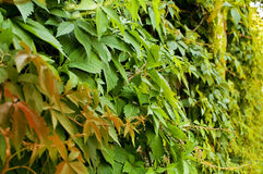 Wall covered with ivy. Wall covered with dense various-colored ivy Stock Images