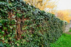 Wall covered with ivy. Ivies protect wall Royalty Free Stock Image