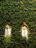 Wall covered in ivy Royalty Free Stock Photography