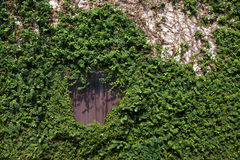 Wall covered with ivy and vine. Wall and window covered with green ivy and vine Royalty Free Stock Photography