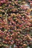 Wall covered by leaves ; autumn background Stock Images