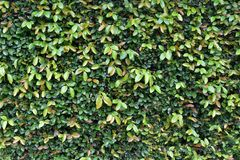 Wall of green leaves background stock photo
